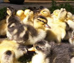 فروش انواع نژاد اردک