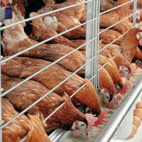 فروش جوجه مرغ بومی تخم گذار