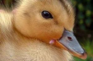 فروش جوجه اردک در سنین مختلف