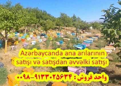 Azərbaycanda ana arılarının satışı və satışdan əvvəlki satışı