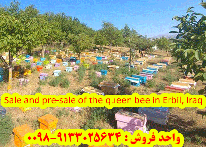 Sale and pre-sale of the queen bee in Erbil, Iraq
